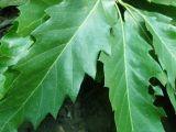 Quercus castaneifolia