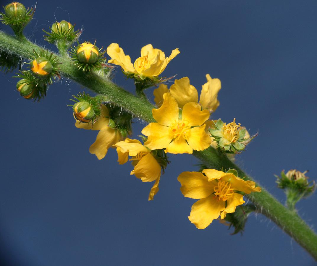 Репешок аптечный (Agrimonia eupatoria) Автор фото: Виталий Гуменюк