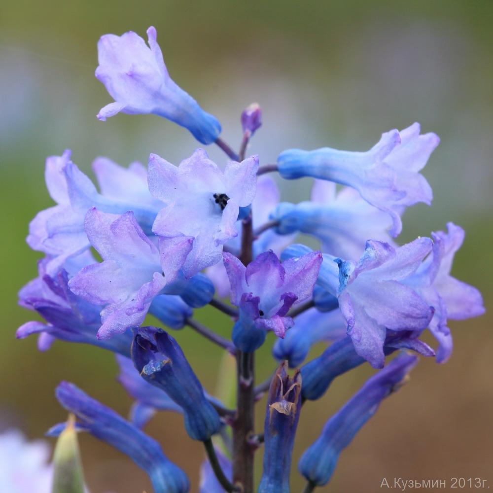 Гиацинтик Палласа (Hyacinthella pallasiana)