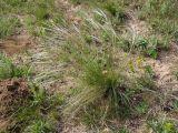 Stipa dasyphylla
