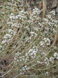 Acanthophyllum crassifolium