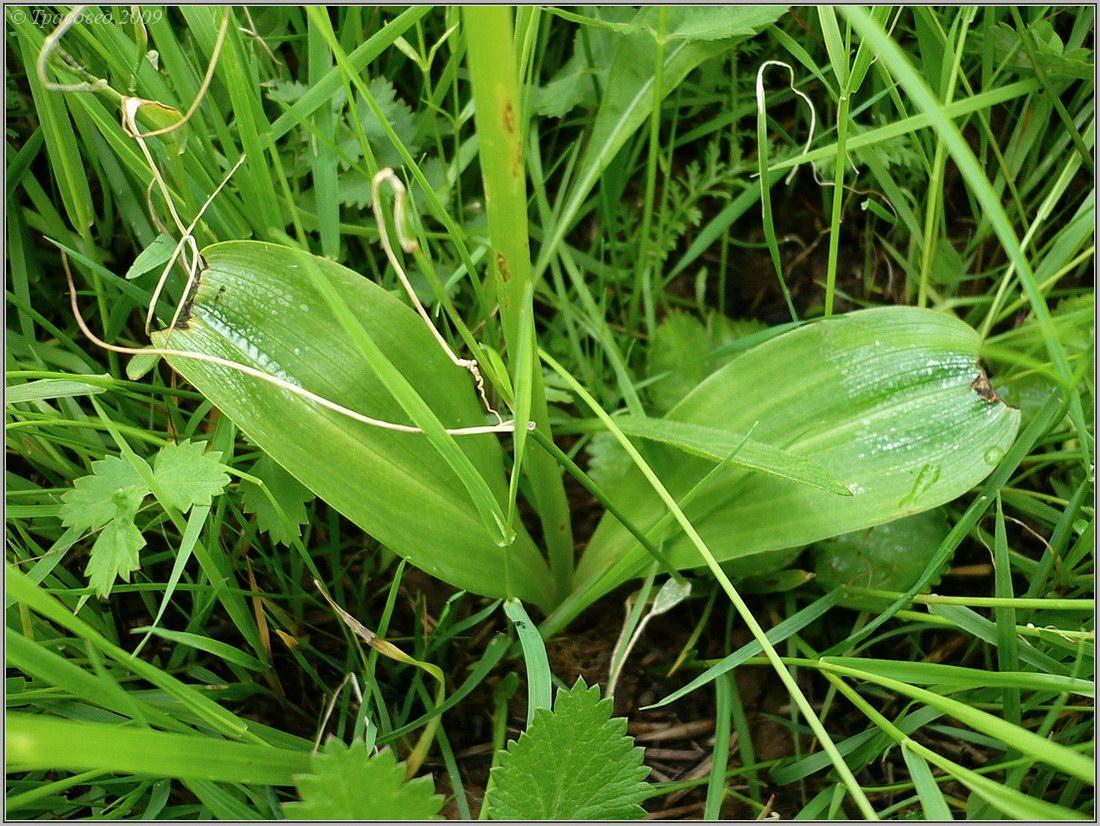 Любка двулистная (Platanthera bifolia) Автор фото: Сергей Апполонов
