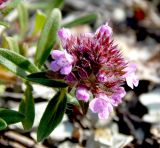 Thymus elenevskyi