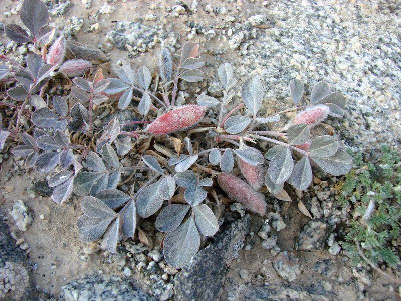 Изображение растения Astragalus subbijugus.