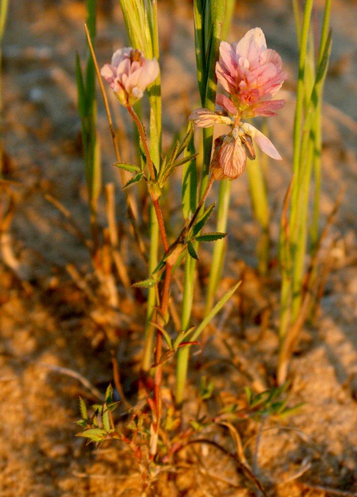 Изображение растения Trifolium philistaeum.