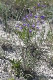 Campanula sibirica