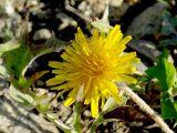 Taraxacum tenuisectum