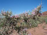 Astragalus ammodendron