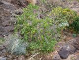 Malva acerifolia