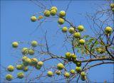 Sinhala Plant names  Ethnobotany  Dh Web