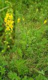 Agrimonia viscidula