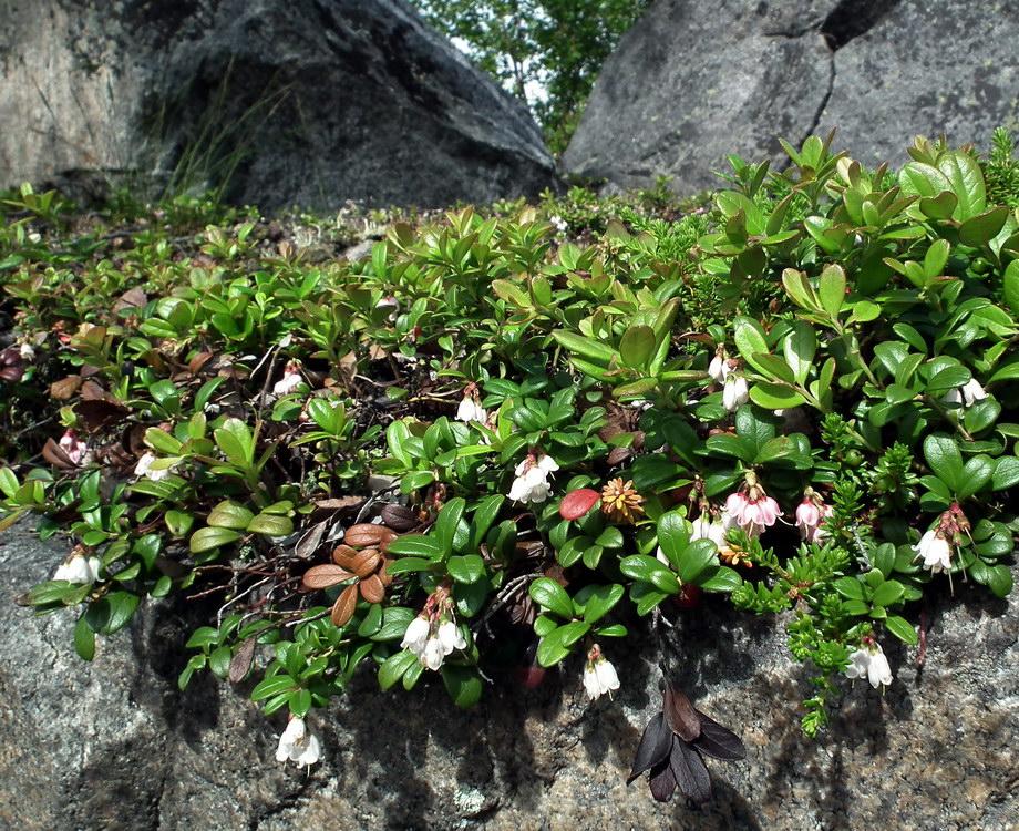 http://www.plantarium.ru/dat/plants/8/819/434819_e4637117.jpg