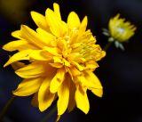 Rudbeckia laciniata var. hortensia