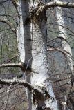 Betula litwinowii