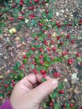 род Cotoneaster