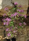 Thymus subarcticus