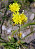 Crepis tectorum