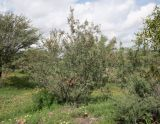 Senegalia fleckii