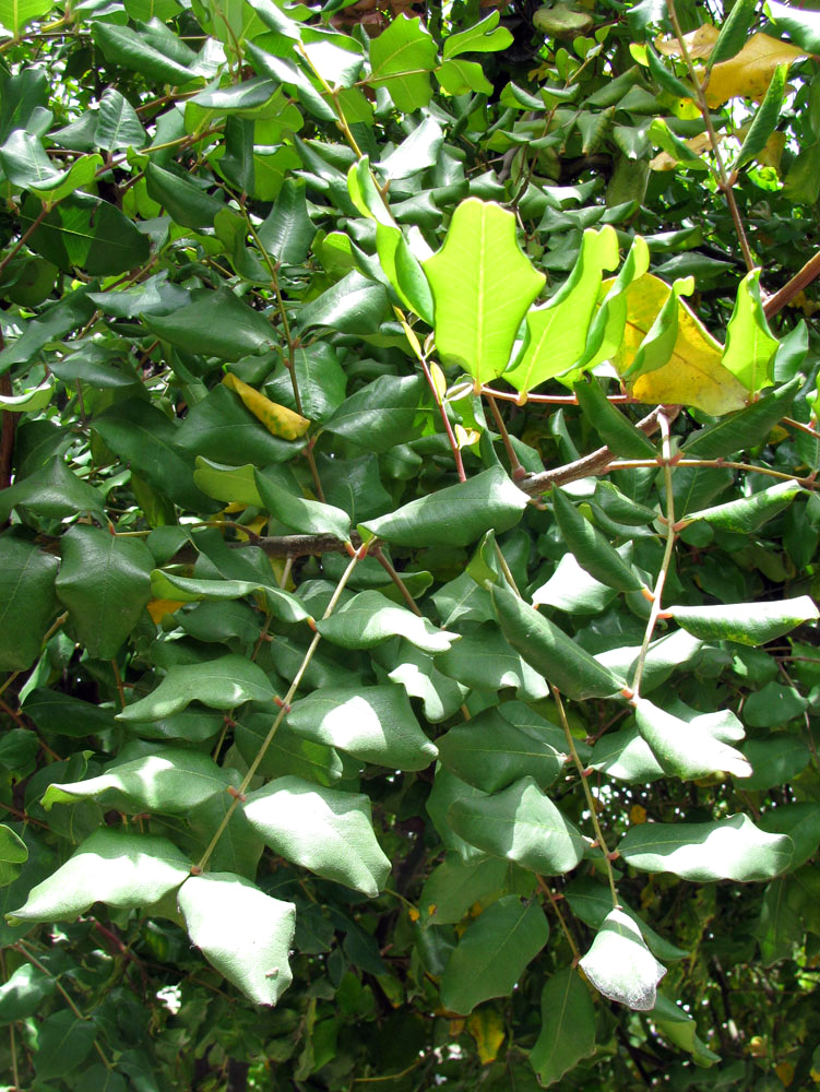 Рожковое дерево фото