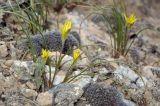 Gagea reticulata