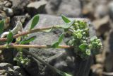 Corrigiola litoralis
