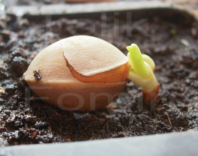 Гинкго билоба выращивание из семян