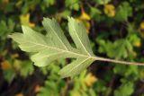 Crataegus sphaenophylla