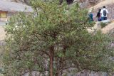 Escallonia paniculata