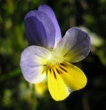 Viola lavrenkoana