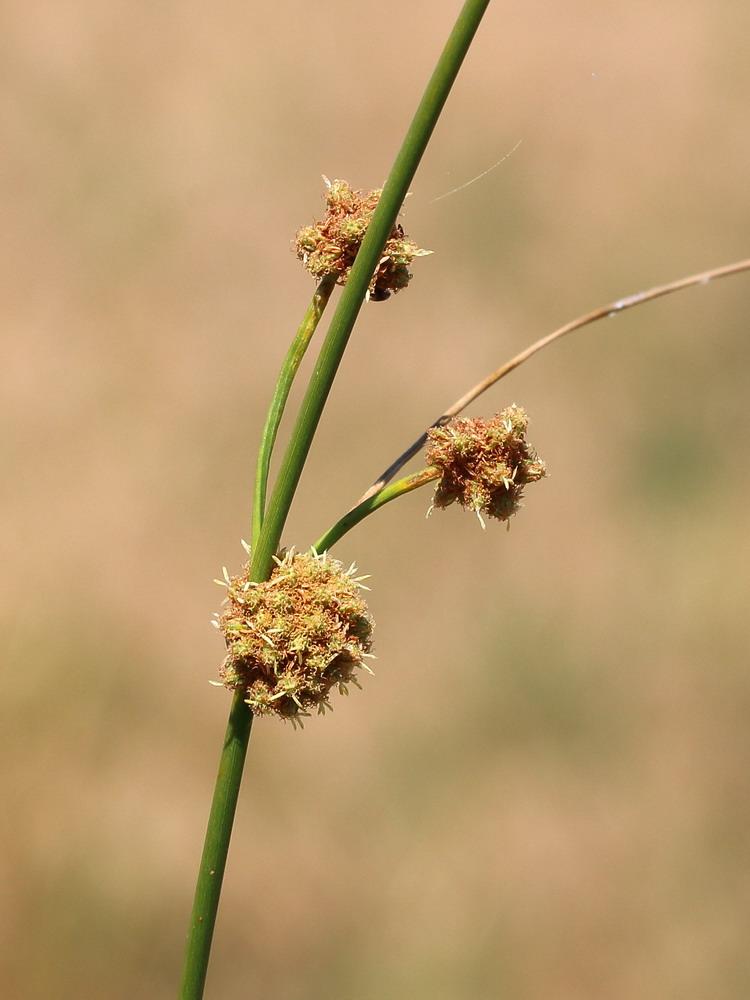 Камышевидник обыкновенный (Scirpoides holoschoenus)