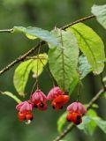 Euonymus verrucosus