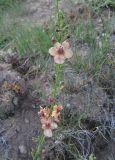 Verbascum × schmidii