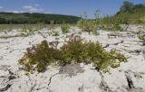 Batrachium rionii
