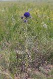 Echinops latifolius