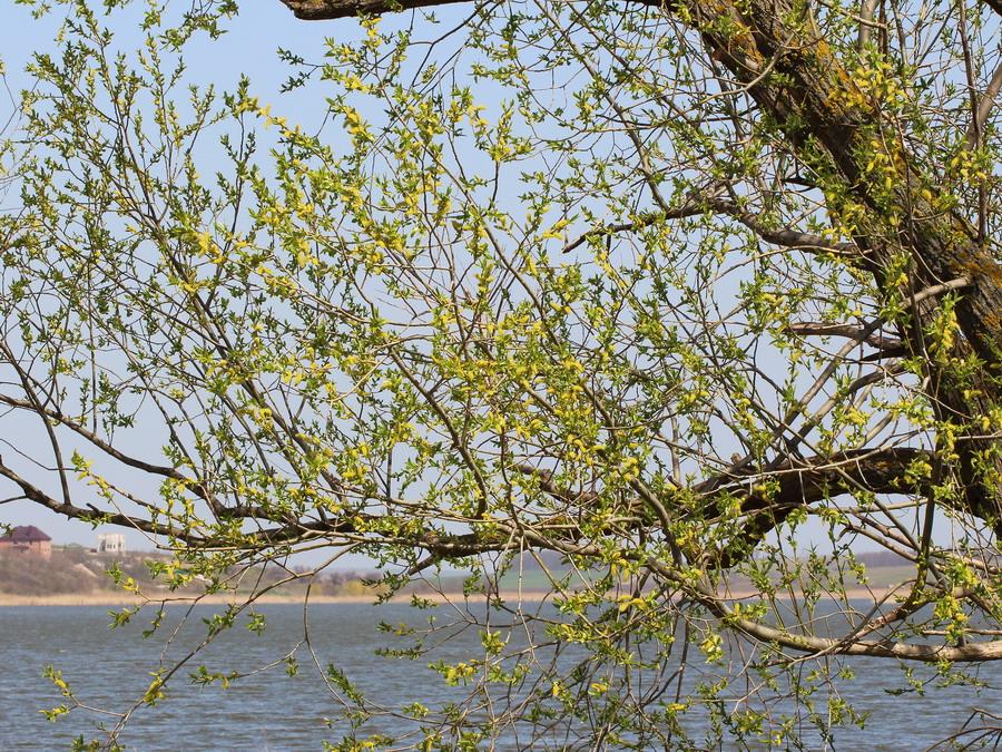Ива ломкая (Salix fragilis)