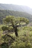 Juniperus seravschanica