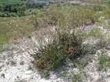 Gypsophila altissima
