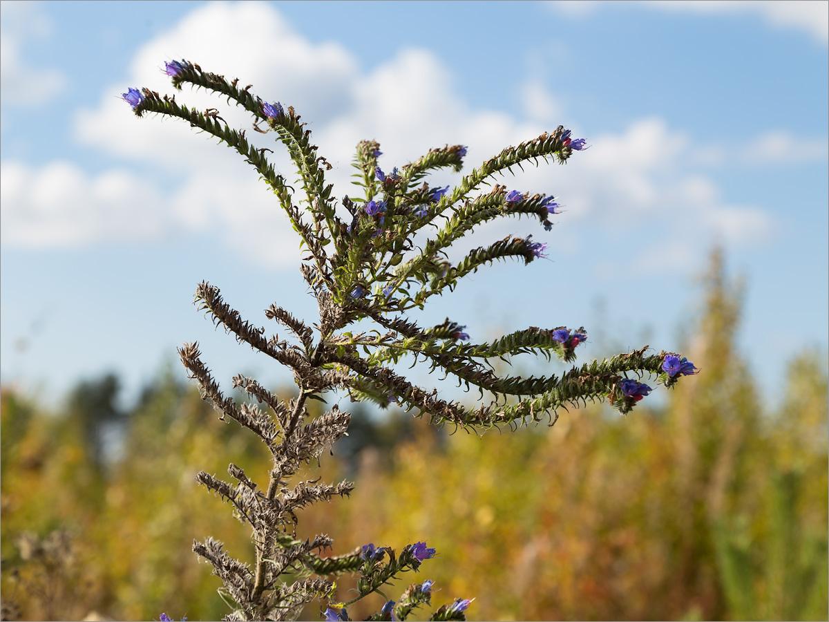 Синяк обыкновенный (Echium vulgare) Автор фото: Мария Новикова