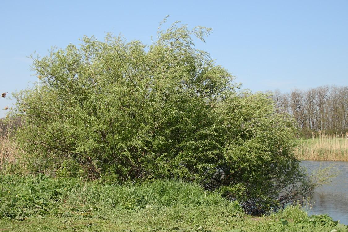 Ива трёхтычинковая (Salix triandra)