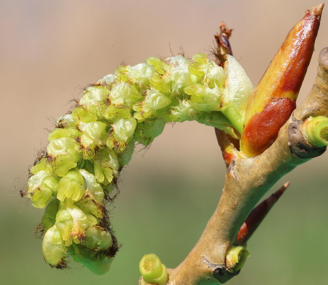 Тополь чёрный (Populus nigra)