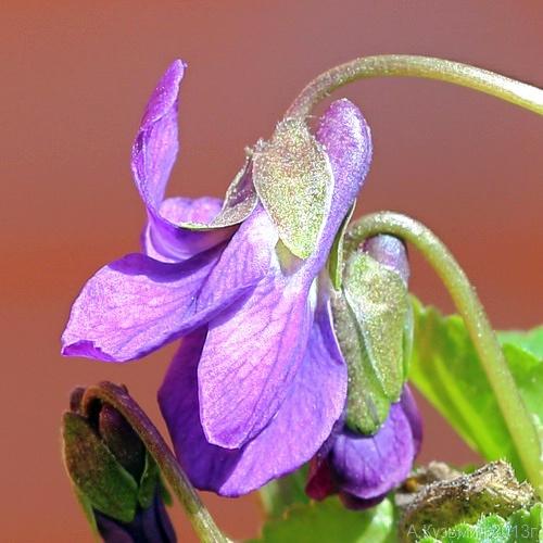 Фиалка венская (Viola × vindobonensis)