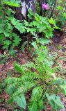 Serratula gmelinii