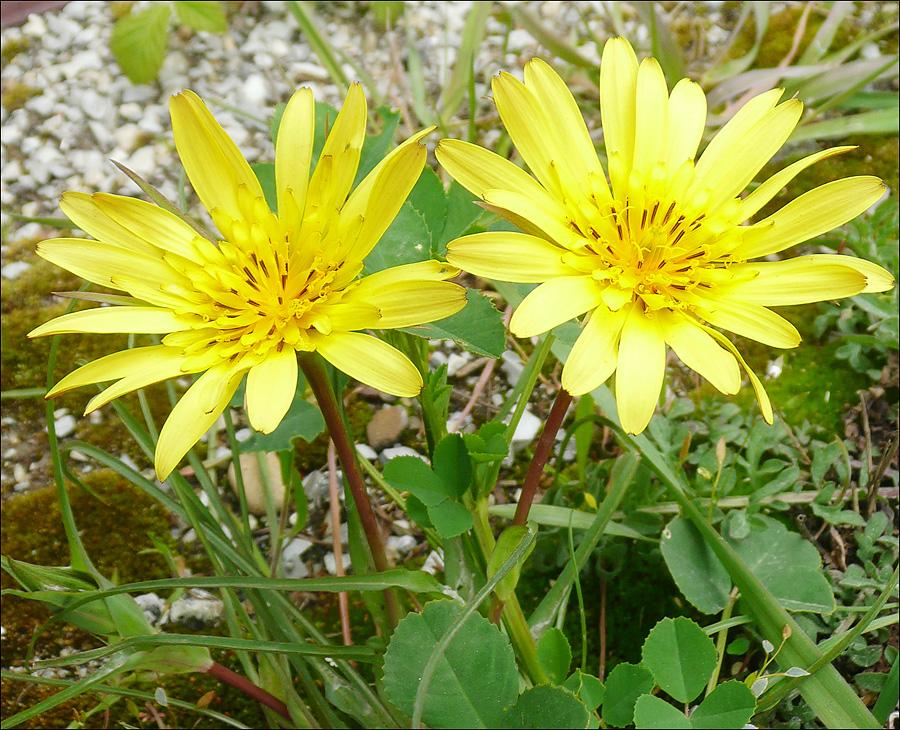 Изображение растения Tragopogon tuberosus.