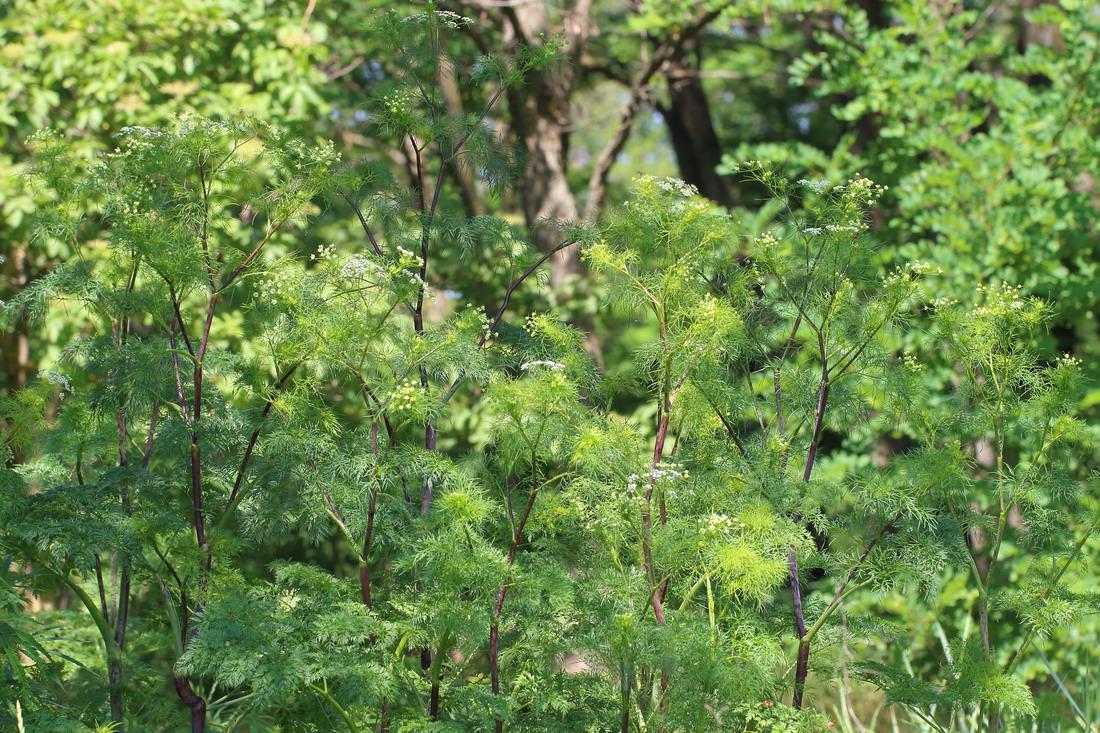 Бутень клубненосный (Chaerophyllum bulbosum)