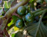 Solanum physalifolium