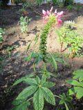 http://www.plantarium.ru/dat/plants/8/849/208849.jpg