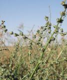 Atriplex intracontinentalis