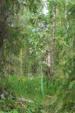 Trisetum sibiricum