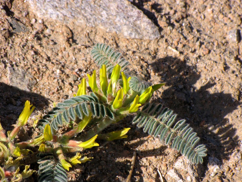 Изображение растения Astragalus sparsus.