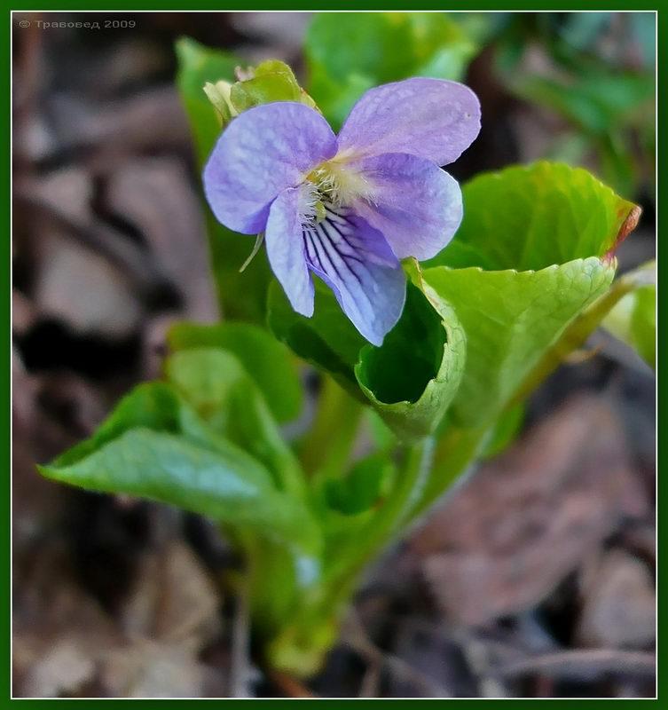 Фиалка удивительная (Viola mirabilis). Автор фото: Сергей Апполонов